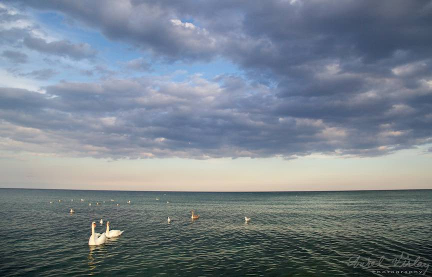 Lebede in lumina calda de apus pe sub cerul acoperit de norii ce se strecoara usor ca avangarda toamnei...